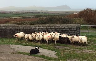 The Dingle Sheep Dog Experience