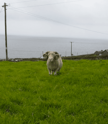 Dingle Sheep Dogs on Slea Head Drive Kerry