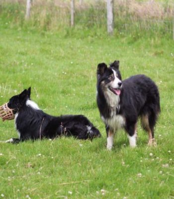 Dogs Relax at the Dingle Sheep Dog Trials