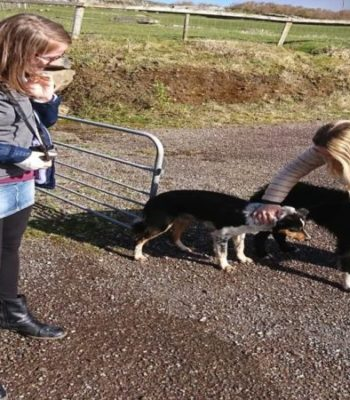 Visitors interact with the dogs at the Sheep Dog Trials in Dingle