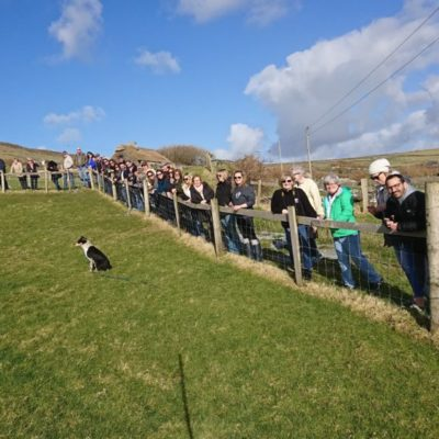 The Dingle Experience Sheep Dogs