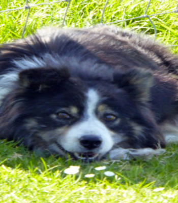 The Dingle Experience Sheepdog Demonstrations