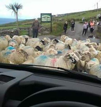 Traffic jam the dingle sheepdogs