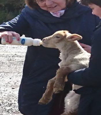 Feeding the Lambs at the Dingle Sheepdog Experience